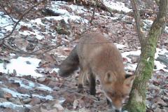 Fuchs-am-Bau