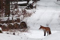 Fuchs-im-Wald